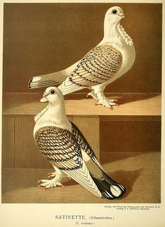 n555_w1150  Illustrirtes Mustertauben-Buch :. Hamburg :Druck und Verlag von J.F. Richter,[1884-1886].